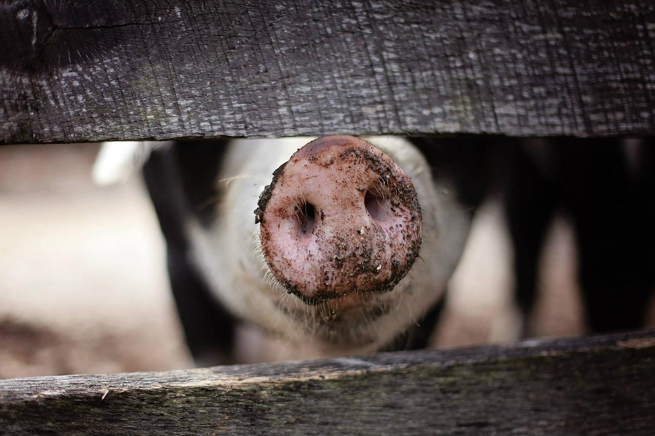 A hog pokes it  snout through the planks of its pen in greeting.