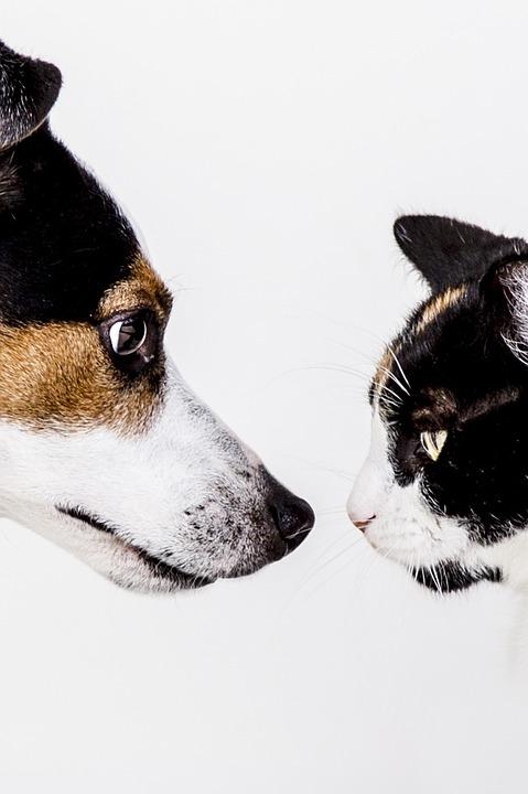 Cat vs Dog
