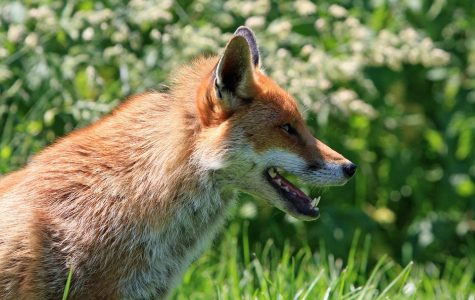 God Provides For The Foxes