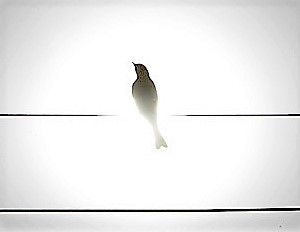 (A Bird) A Shadow