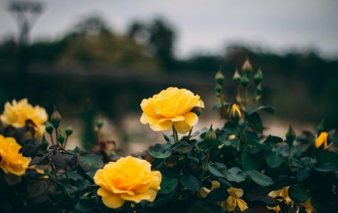 Yellow Rose Bush