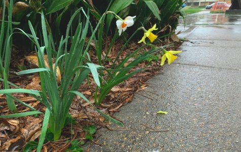 Three flowers wilting in the rain.