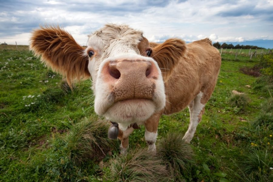 From Pasture to Plate